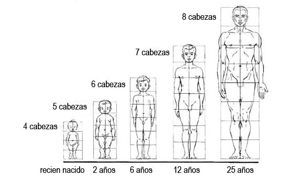 Resultado de imagen para proporcionalidad corporal
